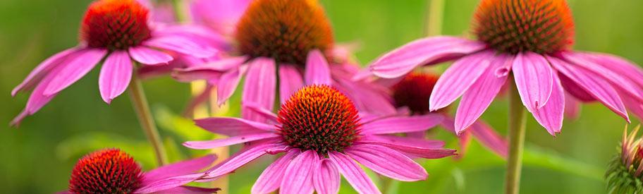 renforcer ses d fenses immunitaires gr ce la plante echinacea. Black Bedroom Furniture Sets. Home Design Ideas